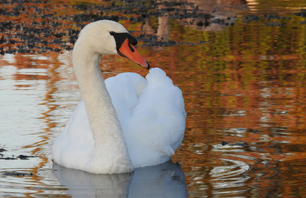 Mute Swan with autumn colours in the water