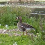 White-Fronted Goose by Steve Waite