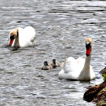 Mute Swans by Sue Smith