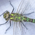 A Green Dragonfly