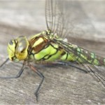 Green dragonfly closeup