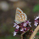 Old Lady Mormo maura moth