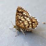 Latticed Heath Moth 2
