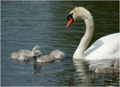 Swan and cygnets at Lower Bruckland - Devon, May 2015