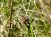 Dingy Skipper at Lower Bruckland - Devon, May 2015