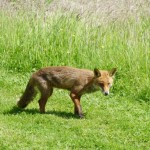 Young Fox at Lower Bruckland
