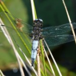 Scarce Chaser at Lower Bruckland