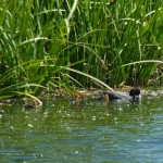 Young Coot at Lower Bruckland