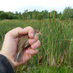 Reed Warbler at Lower Bruckland